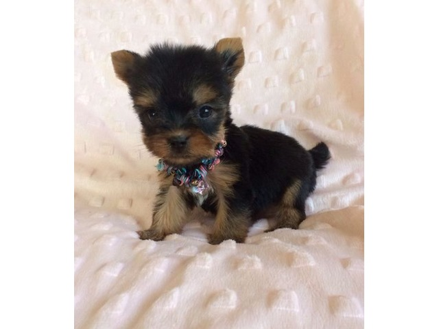Tiny Adorable Baby Yorkie Puppy Animals Miami Florida