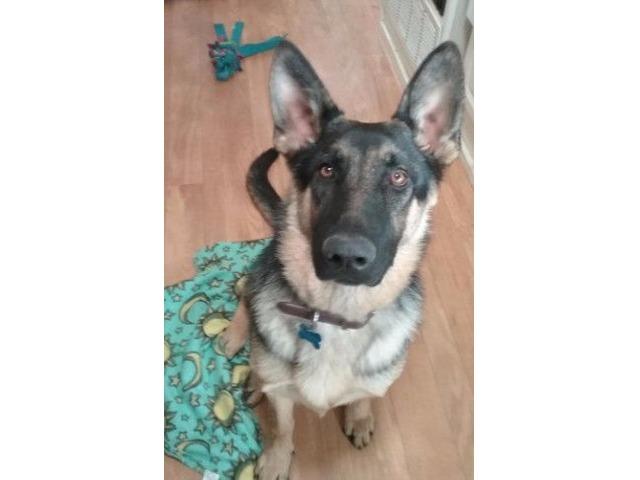 Akc Registered German Shepherd Puppy Animals Rexburg Idaho