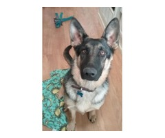 AKC Registered German Shepherd Puppy