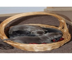 AKC Charcoal and Silver Lab Puppies for sale