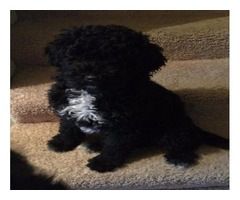 AKC Portuguese water dog puppies