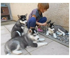 Playful,intelligent and fun loving these Siberian Husky puppies