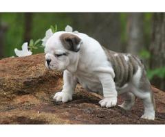 English bulldog puppies purebred puppies for sale