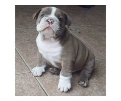 Baby English Bulldog Puppies for sale