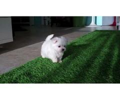 **Happy & Healthy teacup 2 Maltese Puppies**