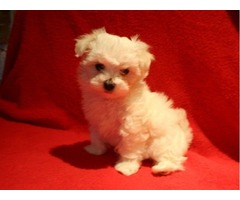 AKC,,,, Adorable maltese Puppy ,,,,Available rehoM