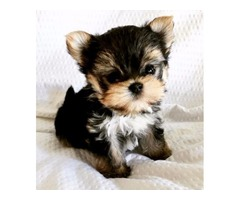 Yorkie(Yorkshire Terrier) Ready to go