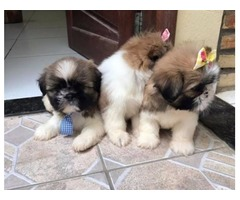 Stunning male and female Shih tzu puppies