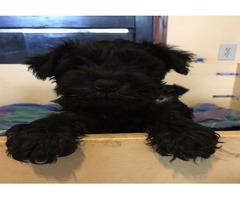 AKC Black Male Miniature Schnauzer Puppy