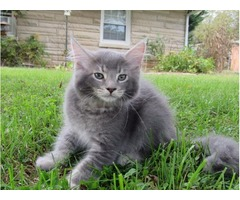 Maine Coon kittens -CFA