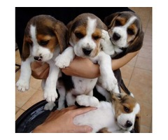 Stunning Beagle Puppies For Sale | free-classifieds-usa.com
