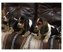 Tri Colour Pedigree Basset Hound Puppies For Sale.