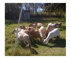 Barbados Sheep Females $200