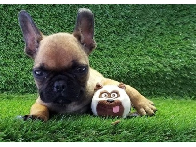 The Best Parrots In The World: French Bulldog Puppies For ...