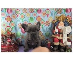 Cute Special home care French bulldog puppies for sale