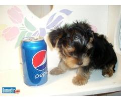 Beautiful Tiny Tea-Cup Yorkie Puppies