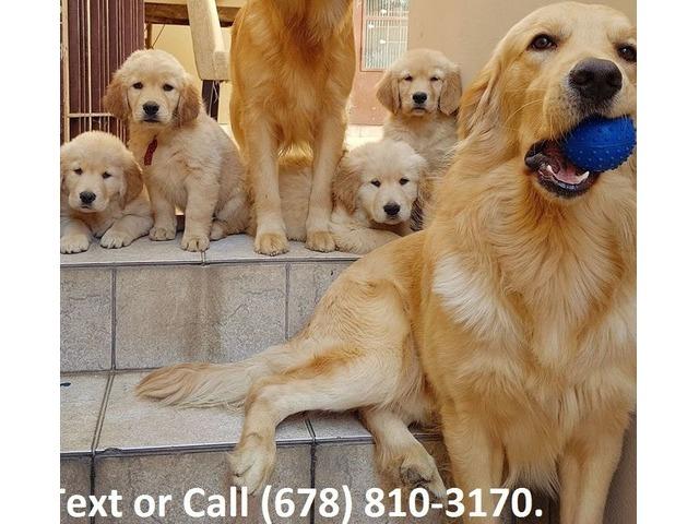 Golden Retriever Puppies For Sale In Miami