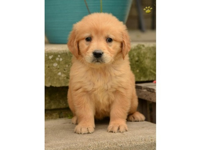 Registered Golden Retriever Puppies Animals El Paso Texas