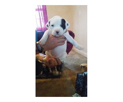 Pit bull puppies for sale blugotti and american pit mix
