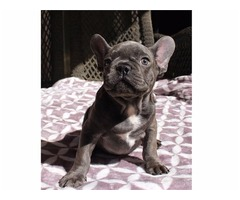 Beautiful French bulldog puppies