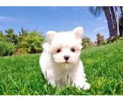 Top Class Maltese Puppies Available