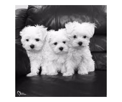 Super Adorable Teacup Maltese Puppies