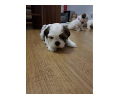 Stunning Kc Registered Shih Tzus Ready To Leave!..