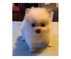 Toy Pomeranian Male
