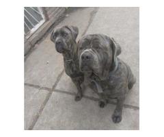 ICCF cane corso puppies