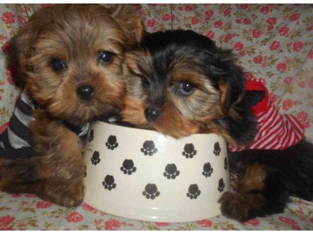Toy Morkies Nonshed Puppies 9wks Animals West Bloomfield