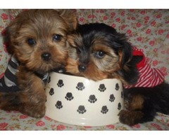 Toy Morkies Nonshed PUPPIES 9wks