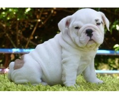 Male and female English bulldog puppies for sale.