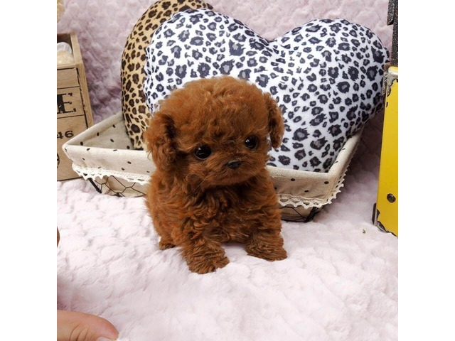 Beautiful Teacup Poodle Puppies Ready Animals Akron Colorado
