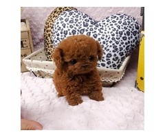 Beautiful Teacup Poodle Puppies Ready
