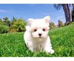 White Maltese puppies