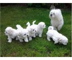Lovely Maltese pups