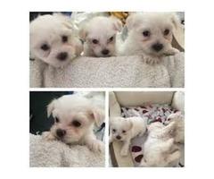 Priceless Pedigree Maltese Puppy Ready For Adoption!