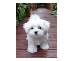 Very Tiny Exceptional Maltese Girl is Available