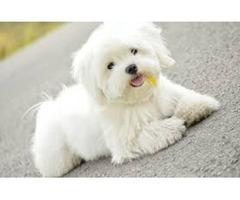 Pedigree Maltese Puppies