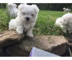 Teacup Maltese Puppies Needs a New Family
