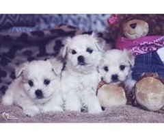 Great Bloodlines Maltese Puppies