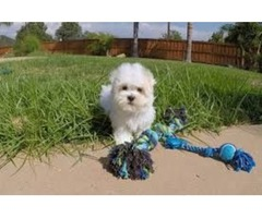 Well Socialized Maltese Puppies