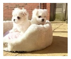 Trained Maltese Puppies available