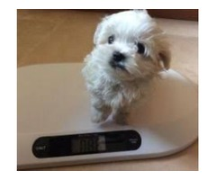 Purebred Maltese Puppies Available