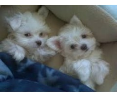 Charming Maltese puppies available