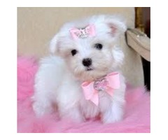 Extra Chaming Maltese Puppies