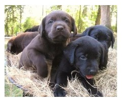 5 Healthy Labrador retriever