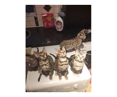 Lovely Bengal Kittens for Re-homing