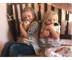 Loving home for Guinea pigs