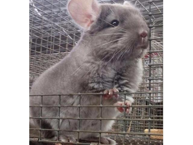 Chinchilla For Sale >> Chinchillas For Sale Animals Grand Island Nebraska